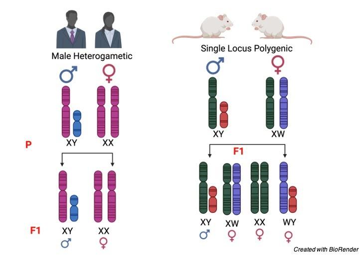 sex chromosomes - research tweet 5
