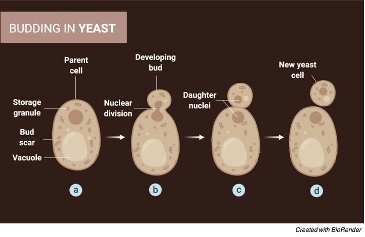 Asexual Reproduction, 1 Asexual Reproduction Definition, Asexual Reproduction Examples, disadvanatge of Asexual Reproduction, types of Asexual Reproduction