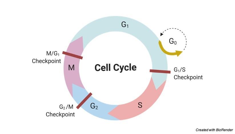 Cell Cycle, Cell Cycle Definition, Cell Cycle Description, Cell Cycle Stages, Cell Cycle Checkpoints 1