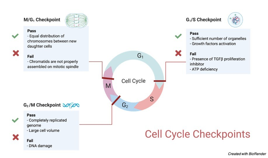 Cell Cycle- Cell Cycle Phases, Cell Cycle Diagram, Cell Cycle Stage, and Cell Cycle Checkpoints 2