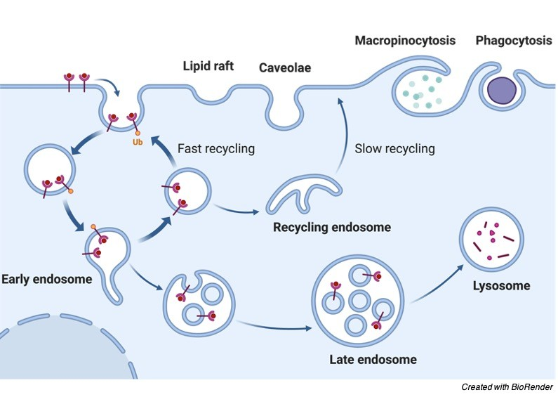 Cell Membrane, Cell Membrane Structure, Pinocytosis, Phagocytosis, Receptor mediated endocytosis 2
