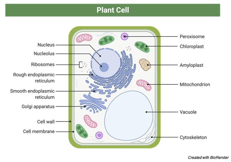 Cell Wall, Cell Wall definition, What is Cell Wall, What does the Cell Wall do, What is the function of Cell Wall, 1