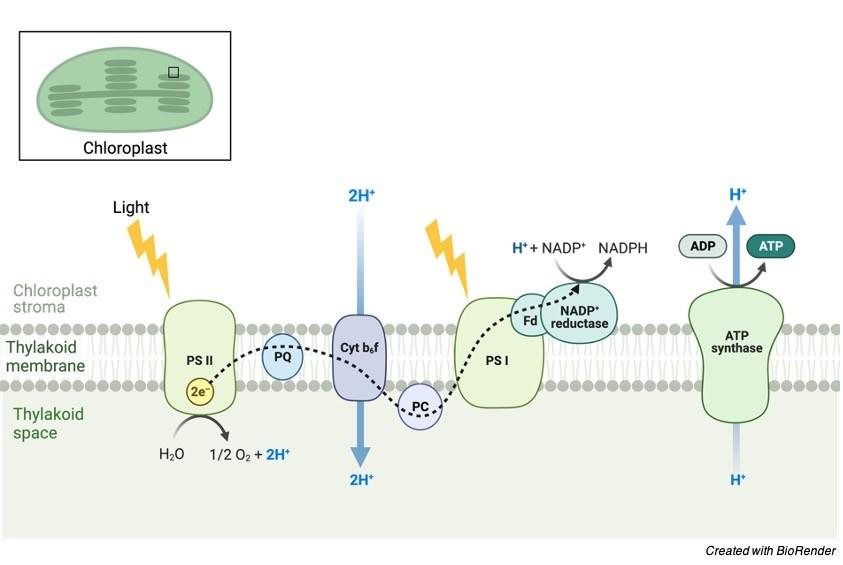 Chemiosmosis, 1 What is Chemiosmosis, Chemiosmosis definition, Chemiosmosis in Photosynthesis, Chemiosmosis process,
