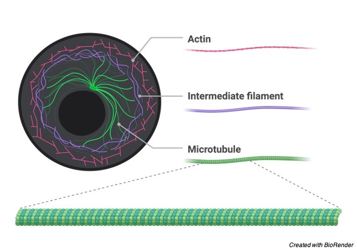 Cytoskeleton, Cytoskeleton Description, Cytoskeleton Structure, Cytoskeleton Function 1