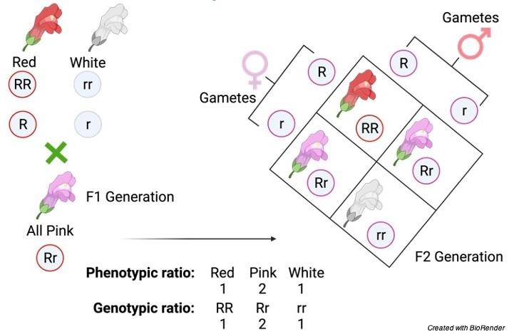 Genotype, Genotype definition, what is a Genotype, Genotype examples, 1