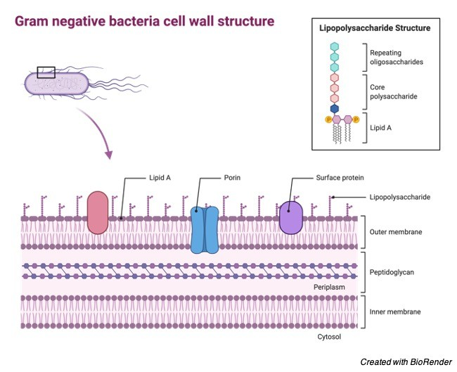 Gram Negative Bacteria - Gram Negative Bacteria Cell wall - Gram Negative Bacteria Diagram - Gram Negative Bacteria Definition