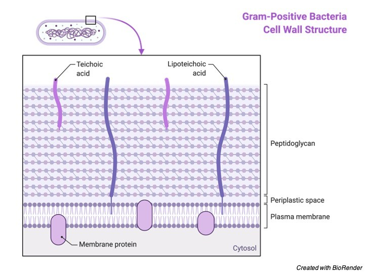 Gram Positive Bacteria - Gram Positive Bacteria Cell wall - Gram Positive Bacteria Diagram - Gram Positive Bacteria Definition
