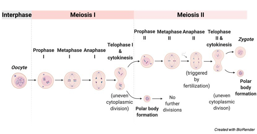 Mitosis vs Meiosis, Mitosis vs Meiosis Chart, Mitosis Diagram, difference between mitosis and meiosis