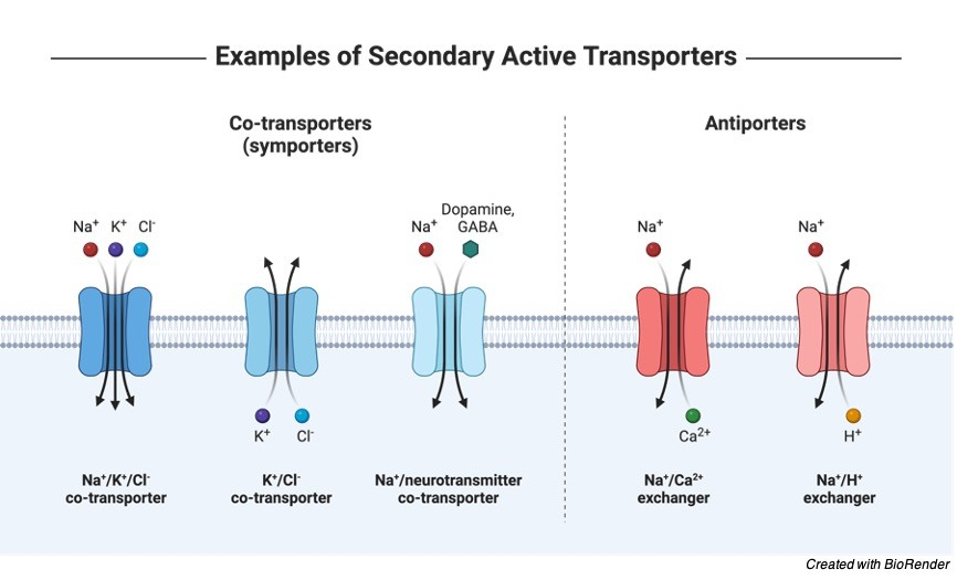 Membrane Transport, Membrane Transport Protein, Active Transport, Diffusion, Facilitated Diffusion, Membrane Transport Examples, 2