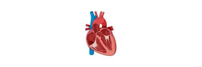 Myocardium, Myocardium Function, Myocardium Definition, What is Myocardium,