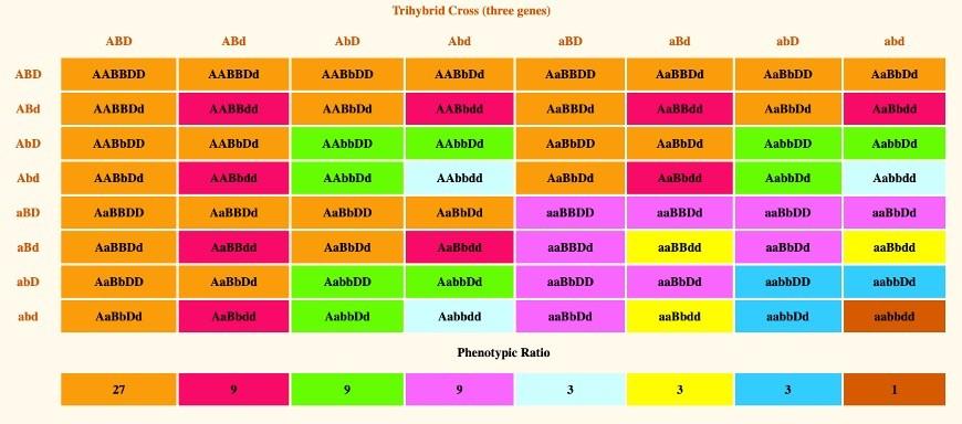 Phenotypic Ratio, 1 Phenotypic, Phenotypic Ratio of dihybrid cross, Phenotypic Ratio definition, Phenotypic Ratio calculation,