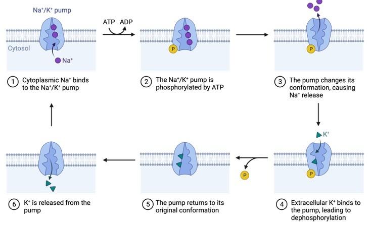 Phosphorylation, What is Phosphorylation,
