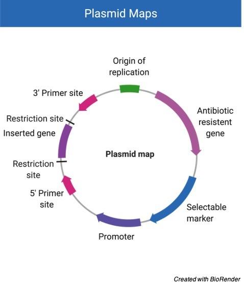 Plasmid - Plasmid map - Plasmid Vector