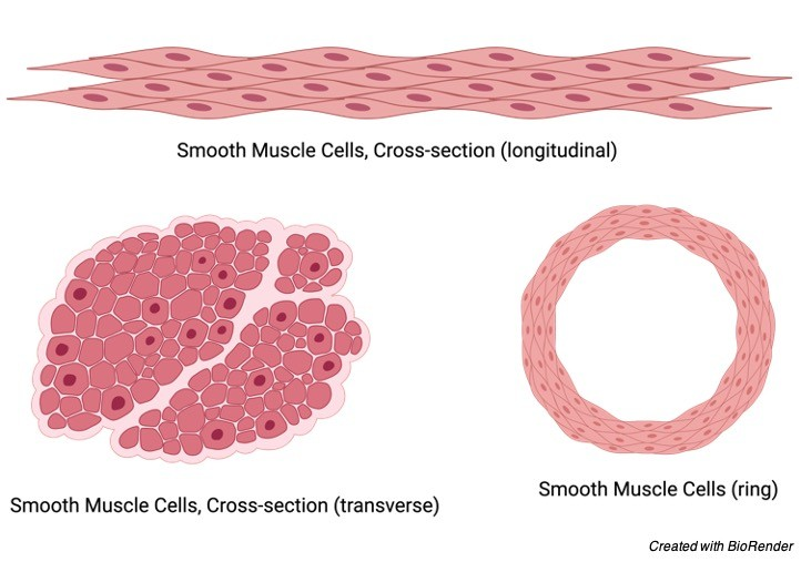 Smooth Muscle, 1 Smooth Muscle Tissue, Smooth Muscle Function, Where is Smooth Muscle Found,