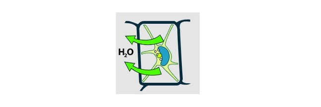 Turgor Pressure, What is Turgor Pressure, Turgor Pressure Definition, Turgor Pressure in Plants, High Turgor Pressure,