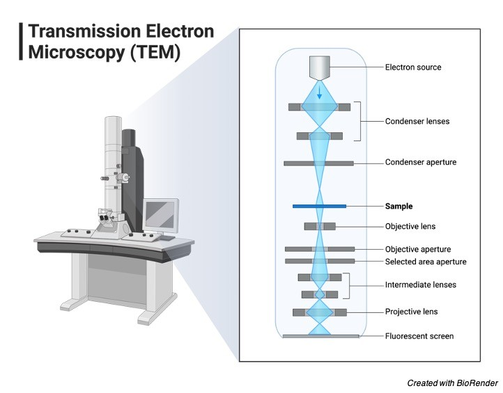 What is Electron Microscopy? Principle, Types, and Importance 3