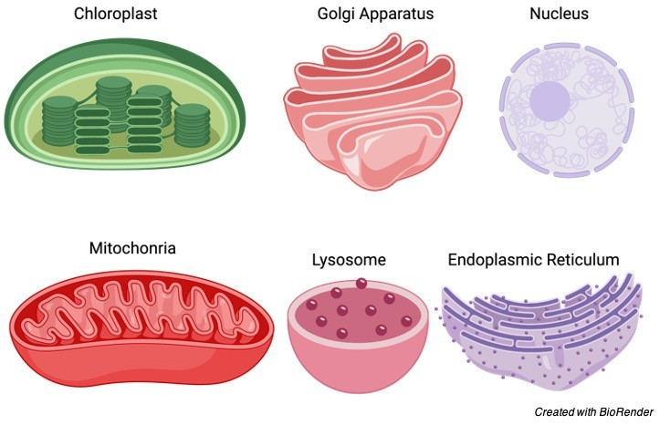 organelle, 1 cell organelle, organelle definition, Plant cell organelle, Animal cell organelle,