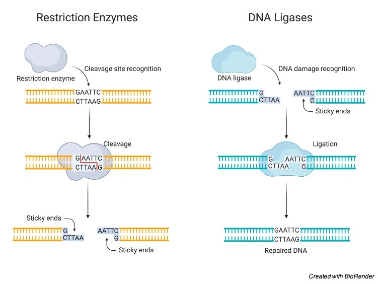 restriction enzymes - restriction endonucleases - DNA Technology