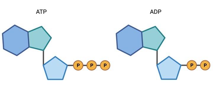 ATP, ADP