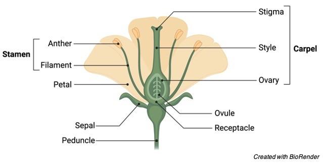 Angiosperm, 1 Angiosperm life cycle, Angiosperm examples, Angiosperms, What is Angiosperm,
