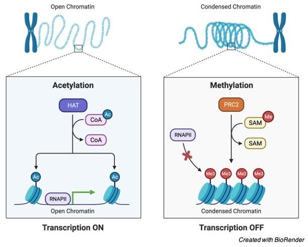 Chromatin, What is Chromatin, Chromatin Function, Chromatin Definition,