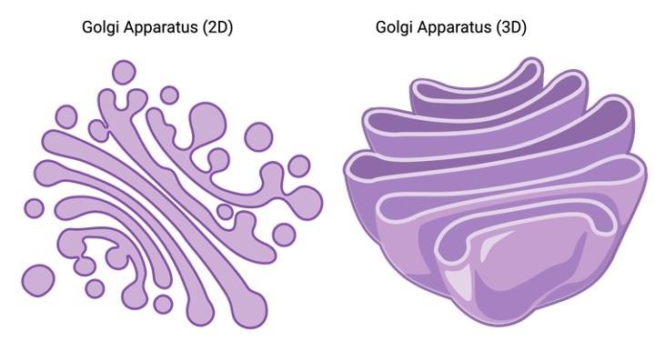 Golgi Apparatus, Golgi Apparatus Function, Golgi Apparatus Definition, 1