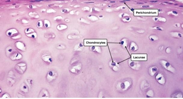 Hyaline Cartilage, 1 Hyaline Cartilage Function, Hyaline Cartilage Location,