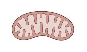 Mitochondrial Matrix