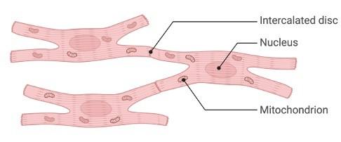 Myocardium, Myocardium Function, Myocardium Definition, What is Myocardium, 1