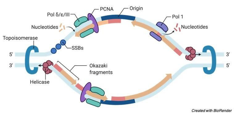Okazaki Fragments, Okazaki Fragments Definition, Okazaki Fragments Mechanism, Okazaki Fragments Diagram,