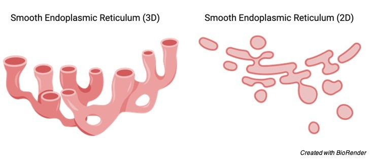 Smooth Endoplasmic Reticulum, Smooth Endoplasmic Reticulum Function, Endoplasmic Reticulum, 1