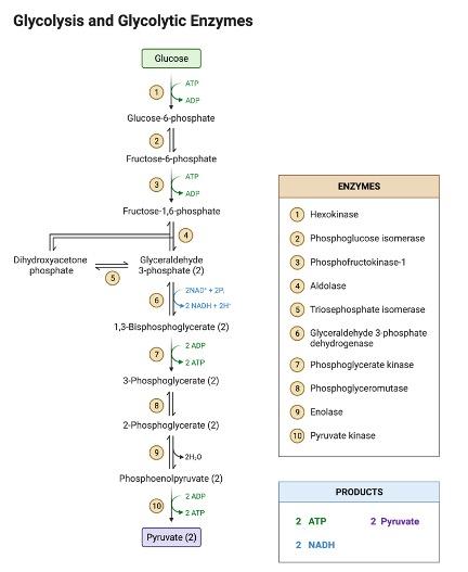 Lactate Dehydrogenase, What is Lactate Dehydrogenase,2